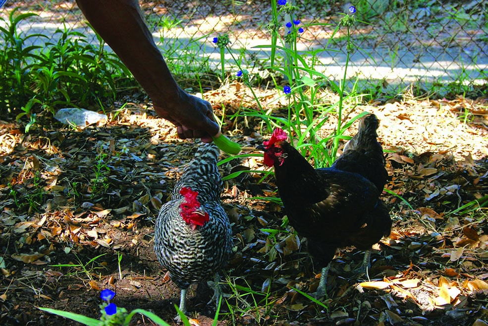 Growing garden, chickens, featured